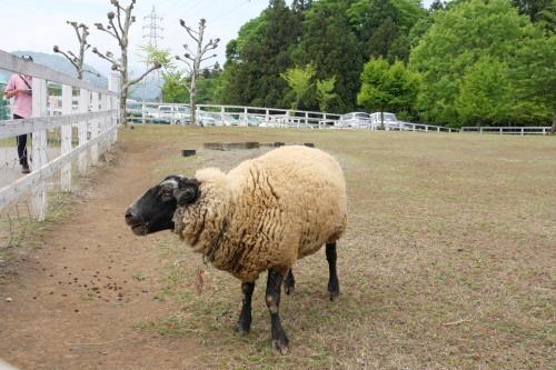 20150504_17羊山公園の羊